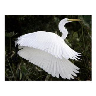 Great White Heron Postcard