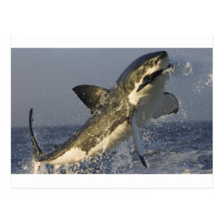Great white jumping. postcard
