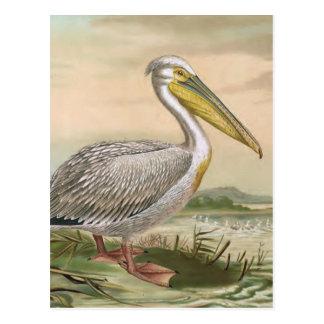 Great White Pelican Vintage Bird Illustration Postcard