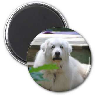Great White Pyrenees Dog Magnet Magnet