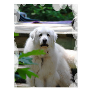 Great White Pyrenees Dog Postcard
