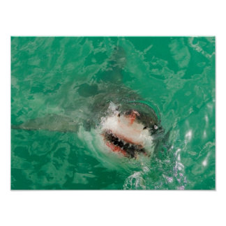 Great White Shark1 Poster