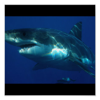 Great White Shark Fish Water Surfer Swim Fin Gray Poster