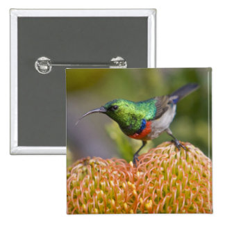 Greater Double-collared Sunbird feeds on 2 Button