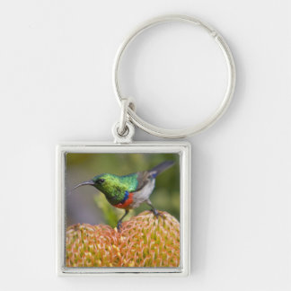 Greater Double-collared Sunbird feeds on 2 Keychain
