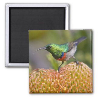 Greater Double-collared Sunbird feeds on 2 Magnet