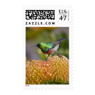 Greater Double-collared Sunbird feeds on 2 Postage