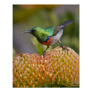 Greater Double-collared Sunbird feeds on 2 Poster