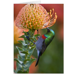 Greater Double-collared Sunbird feeds on 3 Card