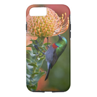 Greater Double-collared Sunbird feeds on 3 iPhone 8/7 Case