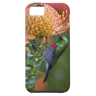 Greater Double-collared Sunbird feeds on 3 iPhone SE/5/5s Case