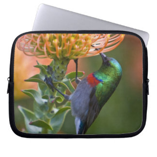 Greater Double-collared Sunbird feeds on 3 Laptop Sleeve