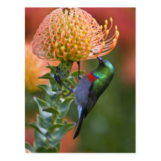 Greater Double-collared Sunbird feeds on 3 Postcard