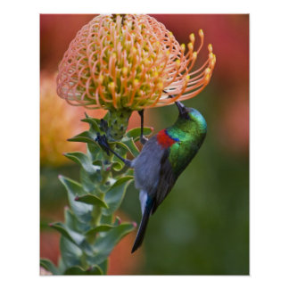 Greater Double-collared Sunbird feeds on 3 Poster