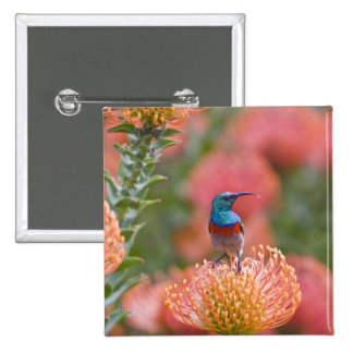 Greater Double-collared Sunbird feeds on Button