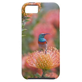Greater Double-collared Sunbird feeds on iPhone SE/5/5s Case