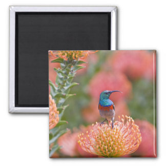 Greater Double-collared Sunbird feeds on Magnet