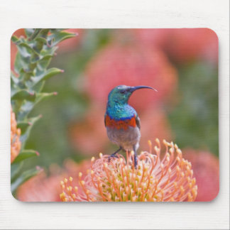 Greater Double-collared Sunbird feeds on Mouse Pads