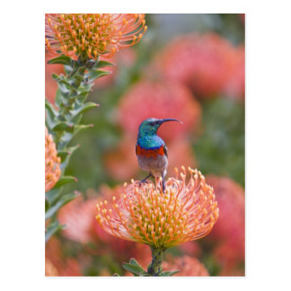 Greater Double-collared Sunbird feeds on Postcard