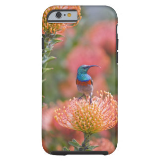 Greater Double-collared Sunbird feeds on Tough iPhone 6 Case
