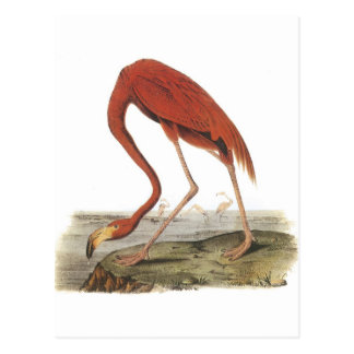 Greater Flamingo by Audubon Postcard