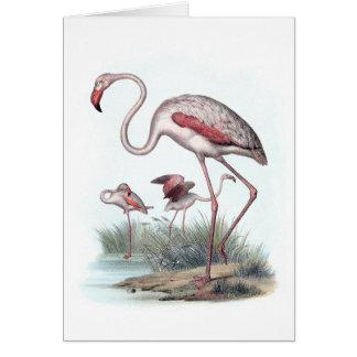 Greater Flamingo (Phoenicopterus roseus) Greeting Card