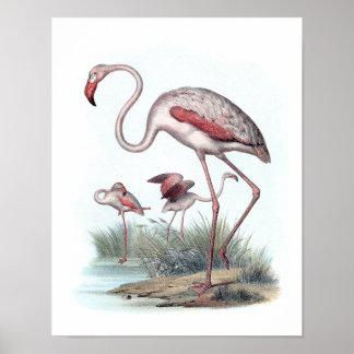 Greater Flamingo (Phoenicopterus roseus) Poster