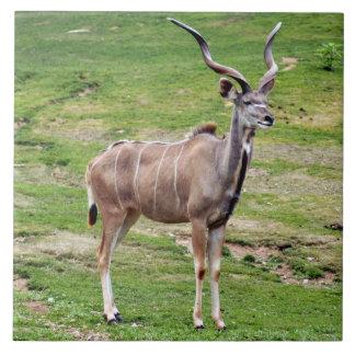 greater-kudu-4 azulejo cuadrado grande