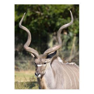 Greater Kudu Postcard