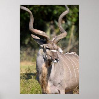 Greater Kudu Print