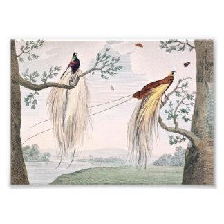 Greater Paradise Birds Painting Photo Art