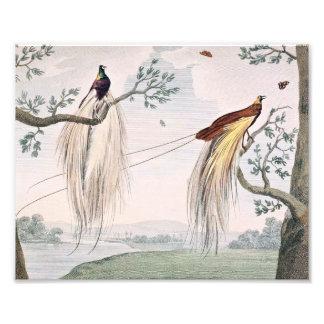 Greater Paradise Birds Painting Art Photo