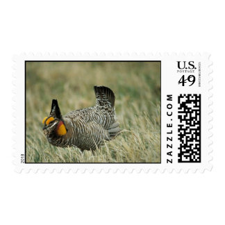 Greater prairie-chicken postage