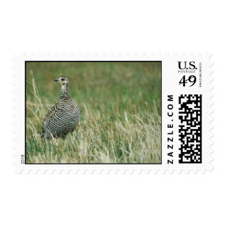 Greater prairie chicken stamp