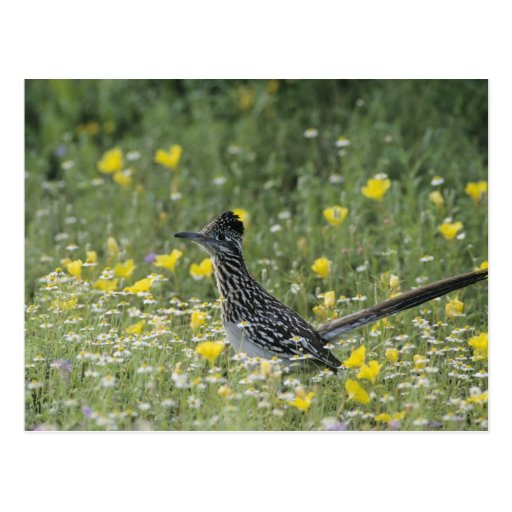 Greater Roadrunner, Geococcyx californianus, Postcards