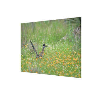 Greater Roadrunner, Geococcyx Canvas Print