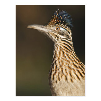Greater Roadrunner in Texas Postcard