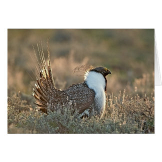 Greater Sage Grouse Card