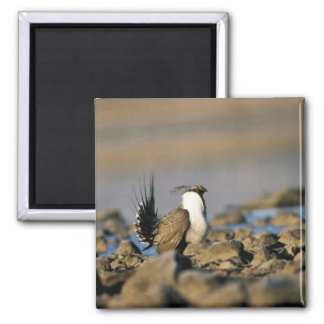 Greater sage grouse magnet