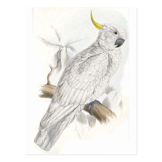 Greater Sulphur-Crested Cockatoo by Edward Lear Postcard