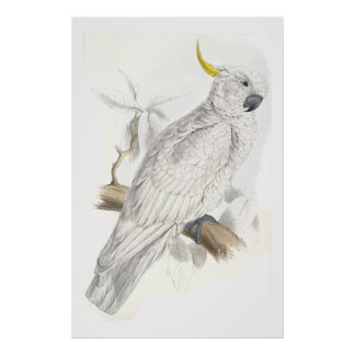 Greater Sulphur-Crested Cockatoo by Edward Lear Poster