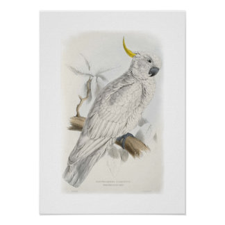Greater sulphur-crested cockatoo poster
