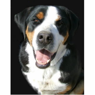 Greater Swiss Mountain Dog: Happy Pin Photo Sculpture Button
