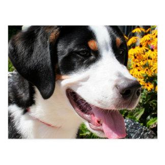 Greater Swiss Mountain Dog Marley 4 Postcard