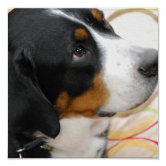 Greater Swiss Mountain Dog Poster