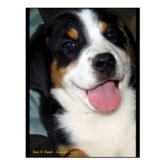 Greater Swiss Mountain Dog Puppy Postcard