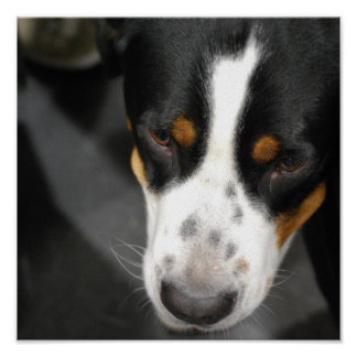 Greater Swiss Mountain Dog Puppy Poster