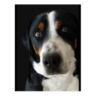 Greater Swiss Mountain Dog Sad Eyes Postcard