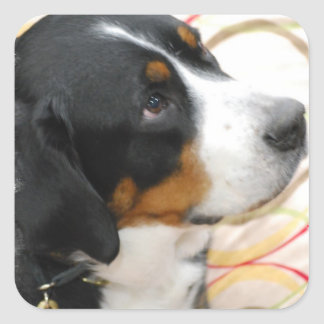 Greater Swiss Mountain Dog  Stickers
