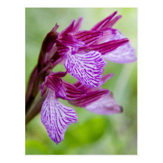 Grecia, Creta. Orquídea de mariposa en la Postal
